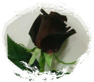 Rosa-Baccara-m