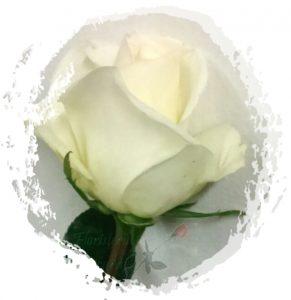 Rosa-Blanca-m