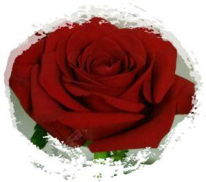 Rosa-Roja-m