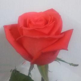 Rosa_Salmon